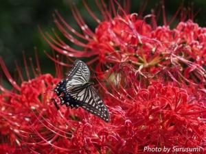 アゲハチョウと彼岸花
