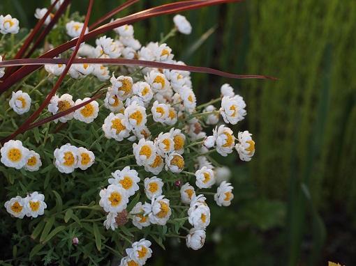 庭の様子②8花カンザシ)