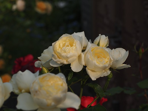 名無し薔薇