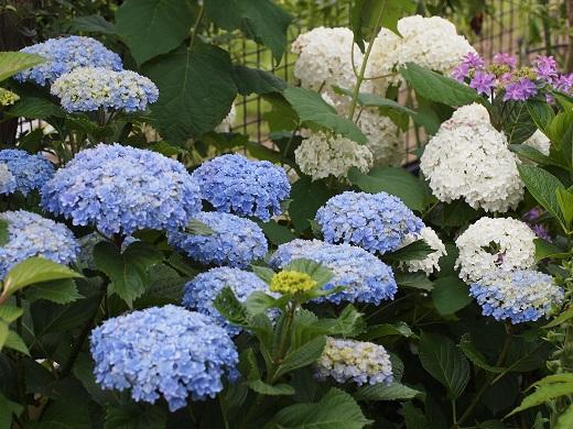 紫陽花2種