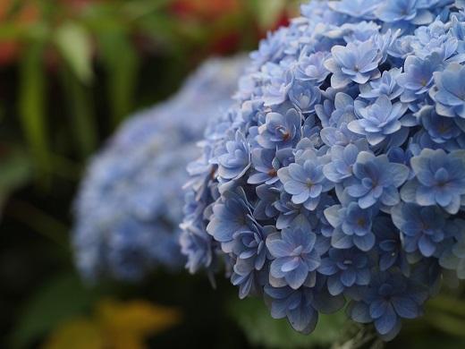 紫陽花テマリピンク