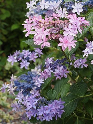 13紫陽花①