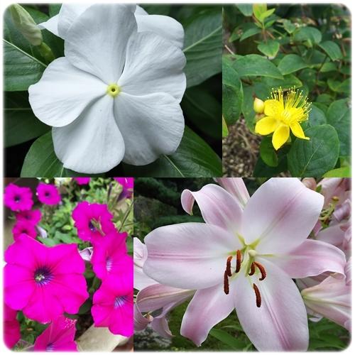 庭の花2016 7月