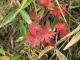 赤くなったハクサンフウロの葉