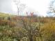 湿原の草モミジ
