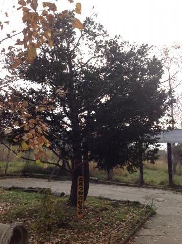 きつねのなる木①