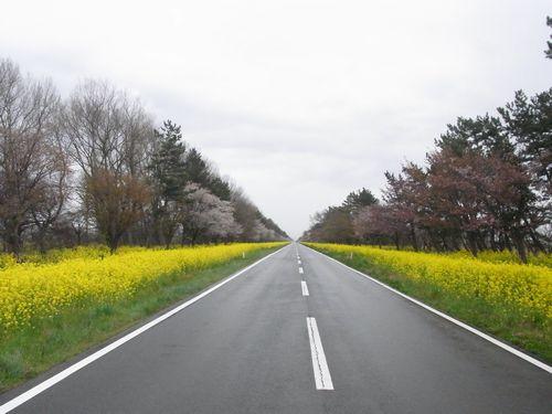 大潟村桜ロード1