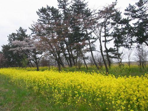 大潟村桜ロード2