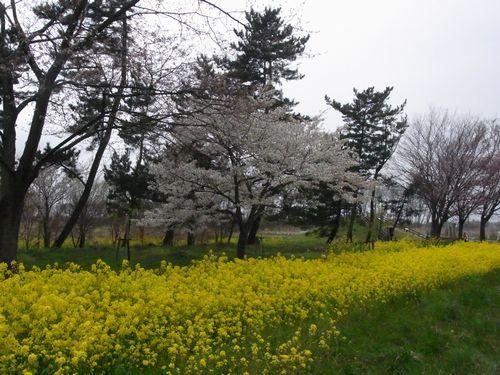 大潟村桜ロード4