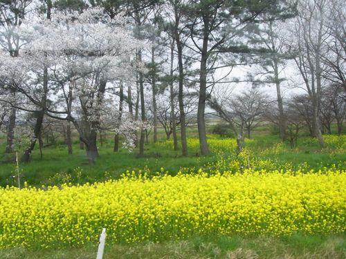 大潟村桜ロード5