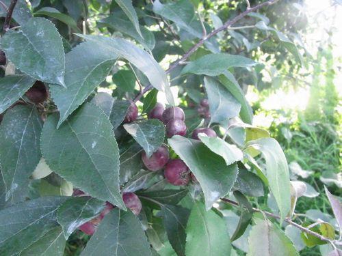 りんご公園13