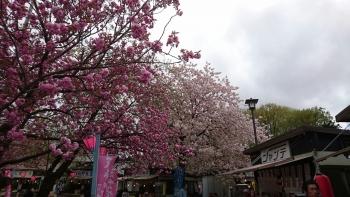 天平の丘 桜祭り