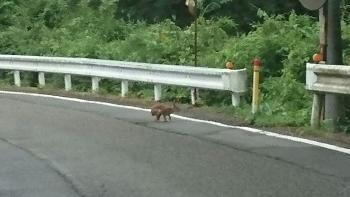 初めて見ました野ウサギ