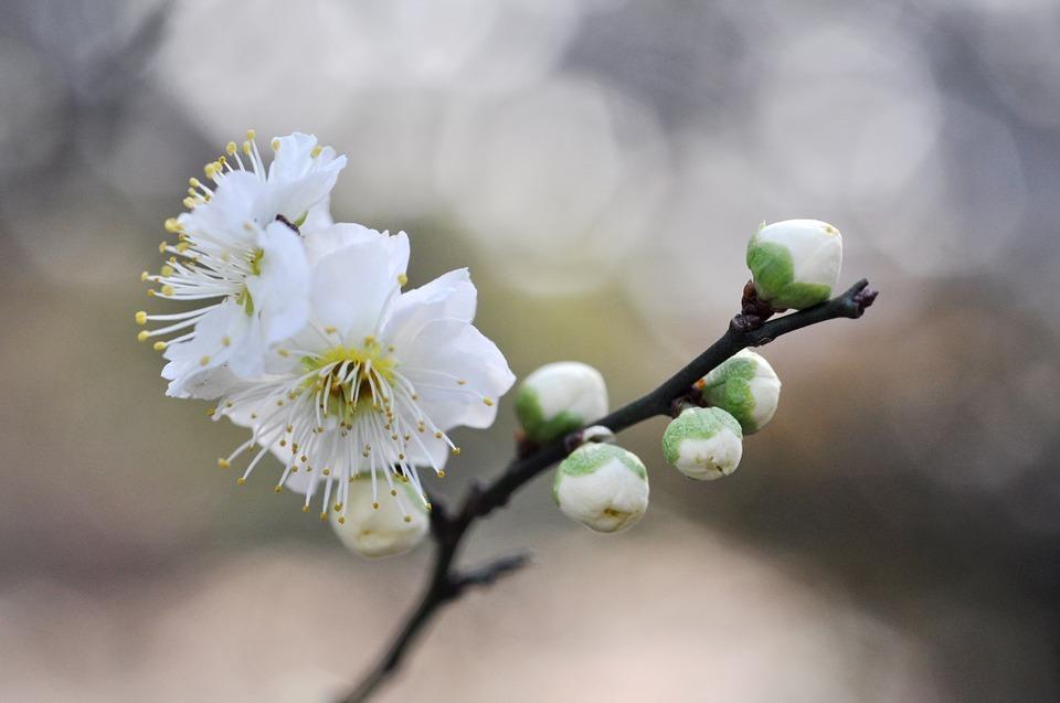 161108white-plum-blossoms.jpg