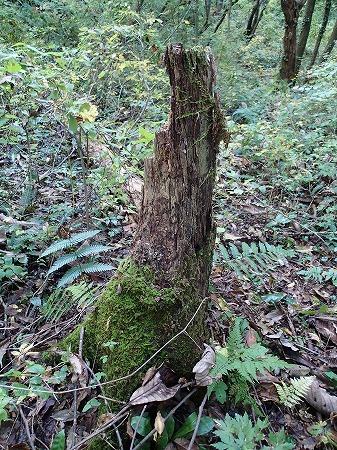 ナメコの木