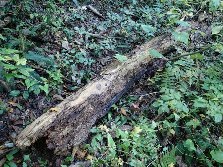 ナメコの倒木