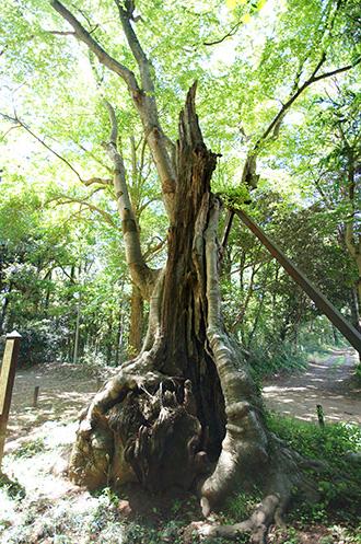 160508佐倉市鷲神社ケヤキ①