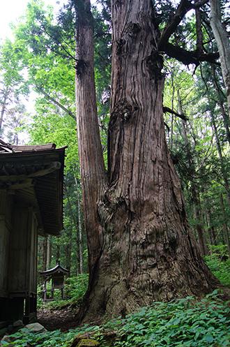 160525北野神社大杉1①
