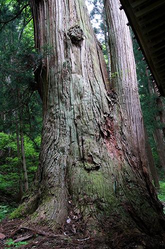 160525北野神社大杉②