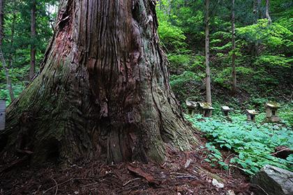 160525北野神社大杉④