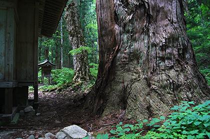 160525北野神社大杉⑤