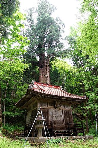 160525北野神社大杉⑥