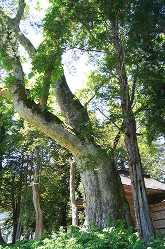 160603鹿島神社のトチ②