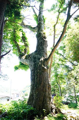 160603鹿島神社のトチ③