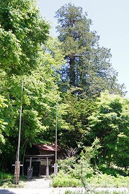 160603八総二荒山神社サワラ