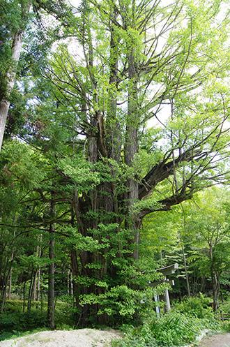 160603熊野堂神社大銀杏④