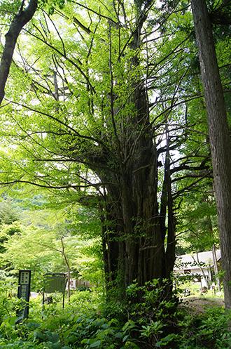 160603熊野堂神社大銀杏⑤