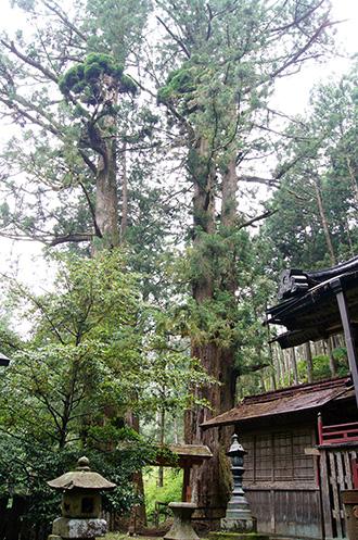 160607加蘇山神社の大杉④