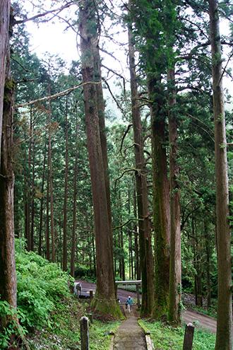 160607加蘇山神社の大杉③