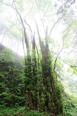 160607加蘇山神社のカツラ②