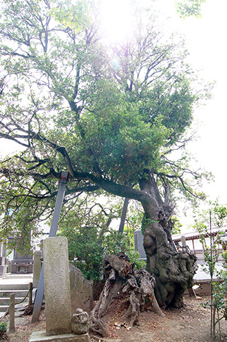 160612光明寺の柊①