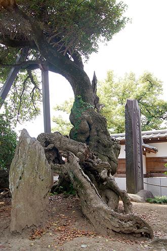 160612光明寺の柊②