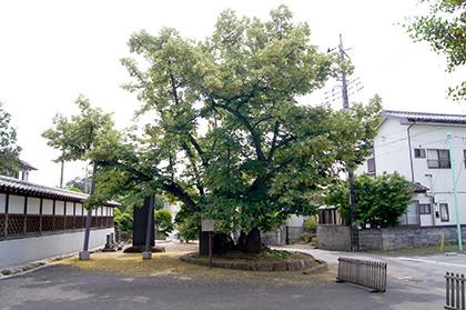 160612親鸞御手植菩提樹①