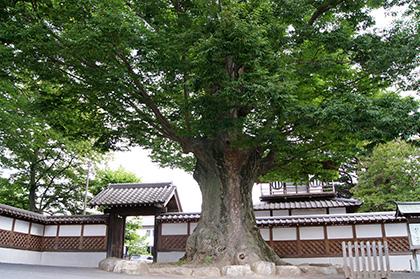 160612光明寺のケヤキ②