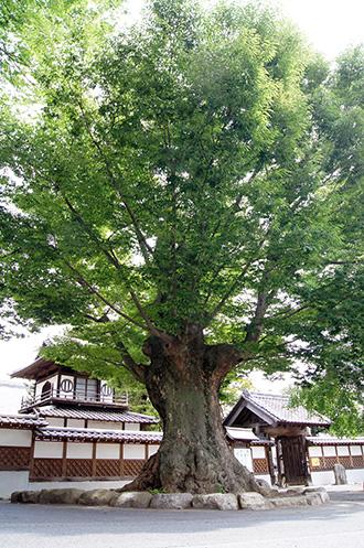 160612光明寺のケヤキ③