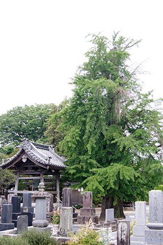 160612光明寺のイチョウ③