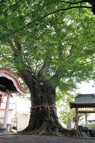 160612下妻神社の大欅①
