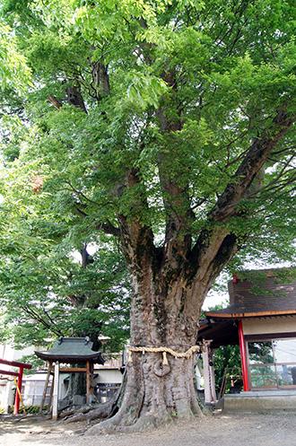 160612下妻神社の大欅②
