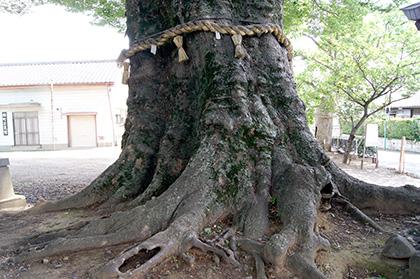 160612下妻神社の大欅⑥