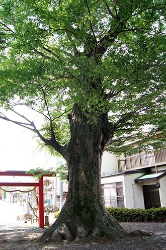 160612下妻神社の大欅⑧
