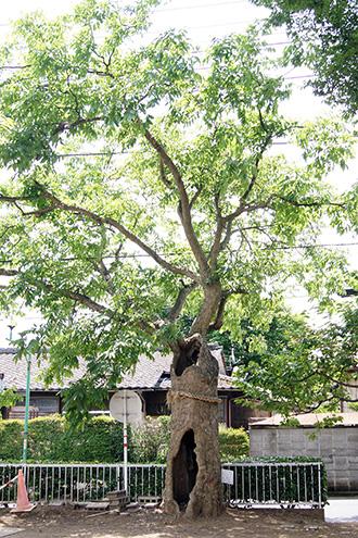 160612下妻神社の大欅⑨
