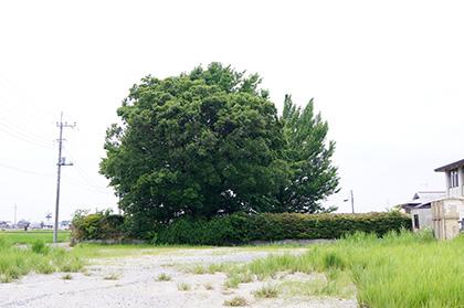 160612稲田恋しの大銀杏⑤