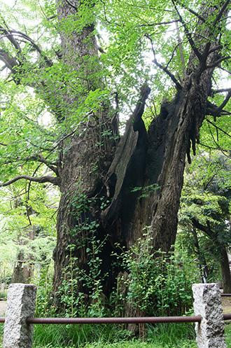 160625氷川神社イチョウ④