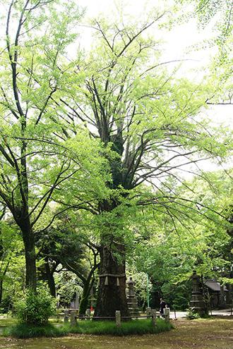 160625氷川神社イチョウ⑦