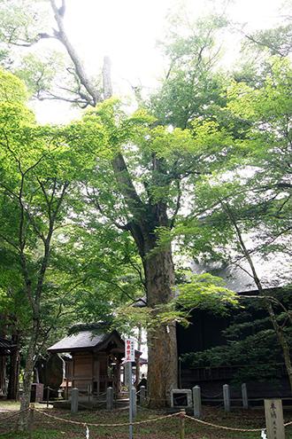 160906忍草浅間神社の欅①