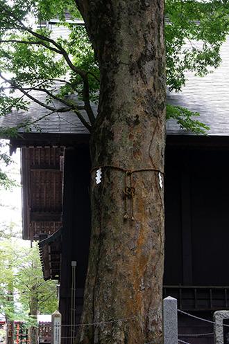 160906忍草浅間神社の欅④